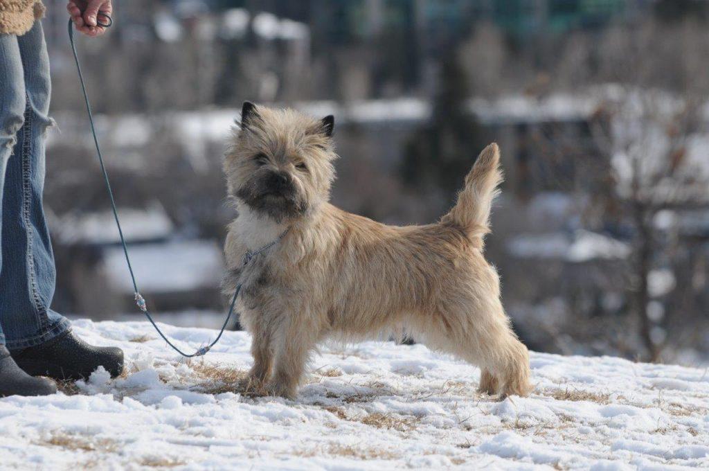 Cairn Terrier training